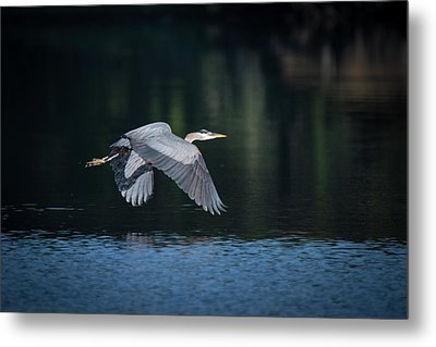 Blue Heron Flying Metal Print