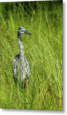 Metal Print featuring the photograph Blue Heron In A Marsh by Paul Freidlund