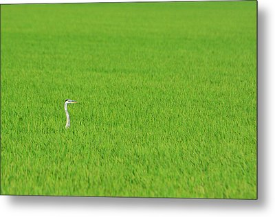 Blue Heron In Field Metal Print