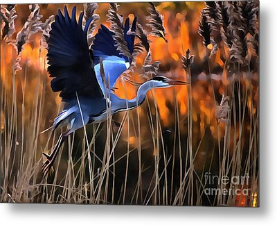 Blue Heron Metal Print by Jack Torcello