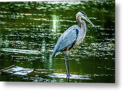 Blue Heron Metal Print by Optical Playground By MP Ray