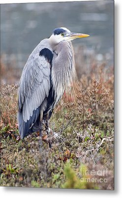 Metal Print featuring the photograph Blue Heron Portrait by Eddie Yerkish