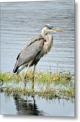 Metal Print featuring the photograph Blue Heron by William Albanese Sr