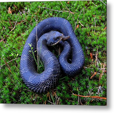 Blue Hognose Metal Print