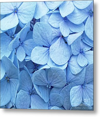 Blue Hydrangea Metal Print by Barbara McMahon
