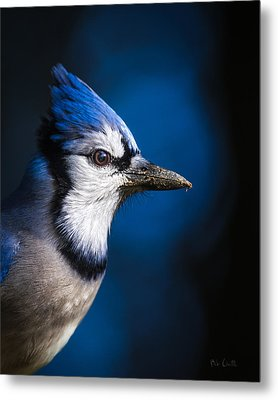 Blue Jay Metal Print by Bob Orsillo