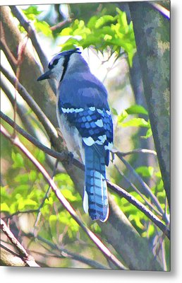 Blue Jay Metal Print by Daphne Sampson