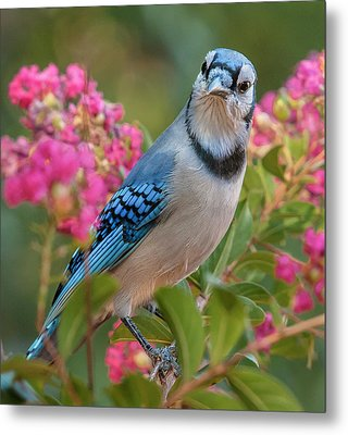 Blue Jay In Crepe Myrtle Metal Print