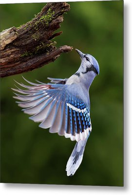 Metal Print featuring the photograph Blue Jay In Flight by Mircea Costina Photography
