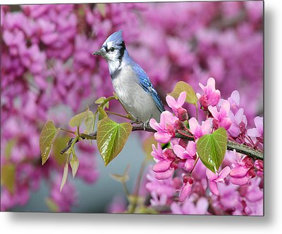 Blue Jay In Spring Metal Print by Nina Bradica