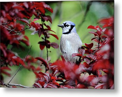 Blue Jay In The Plum Tree Metal Print by Trina Ansel