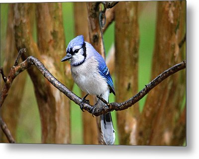 Blue Jay On A Branch Metal Print by Trina Ansel