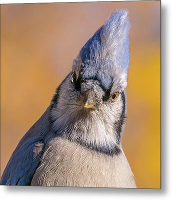 Metal Print featuring the photograph Blue Jay Portrait by Jim Hughes