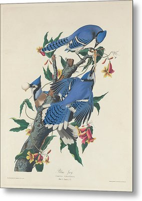 Blue Jay Metal Print by Mountain Dreams
