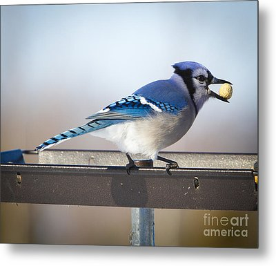 Blue Jay With A Mouth Full Metal Print by Ricky L Jones