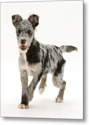 Blue Merle Mutt Metal Print by Mark Taylor