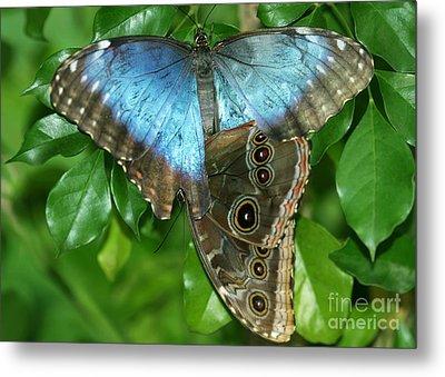 Blue Morpho Butterflies Metal Print by Sabrina L Ryan