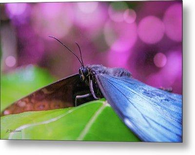 Blue Morpho  Butterfly 2 Metal Print