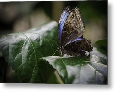 Blue Morpho On A Leaf Metal Print by Jason Moynihan