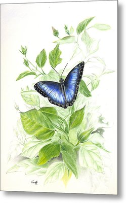 Blue Morpho On Hibiscus Metal Print
