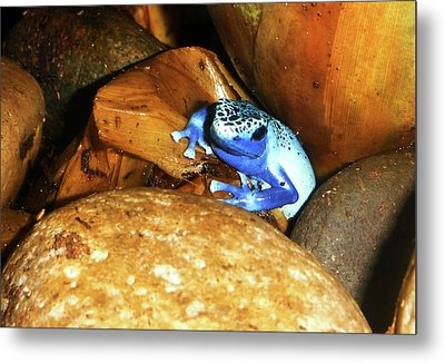 Metal Print featuring the photograph Blue Poison Dart Frog by Anthony Jones