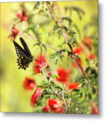 Blue Swallowtail On Fairy Duster  Metal Print