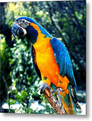 Blue Throated  Macaw 2 Metal Print by DiDi Higginbotham