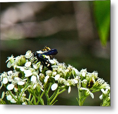 Blue Wasp 2 Metal Print by Douglas Barnett
