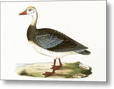 Blue Winged Goose Metal Print by English School