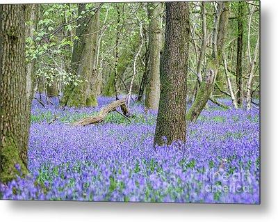 Bluebell Wood - Hyacinthoides Non-scripta - Surrey , England Metal Print