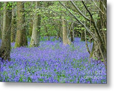 Bluebell Woodland Hyacinthoides Non-scripta, Surrey , England Metal Print
