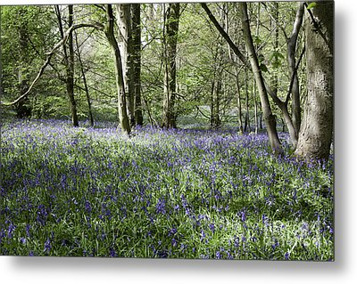 Bluebells Flowering In A Wood Beside Former Colliery Tramway Now Footpath  Poynton Cheshire England Metal Print by Michael Walters