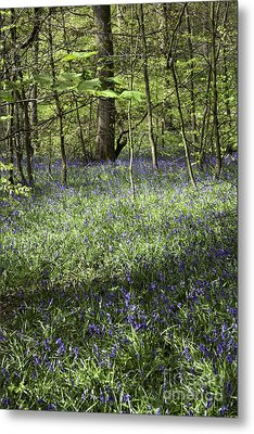 Bluebells Flowering In Wood Beside Former Colliery Tramway Now Footpath  Poynton Cheshire England Metal Print by Michael Walters