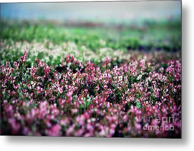 Metal Print featuring the photograph Blueberry Blossoms  by Alana Ranney