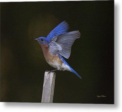 Bluebird  Metal Print by Angel Cher