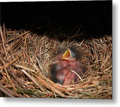 Metal Print featuring the photograph Bluebird Babies by Marie Hicks