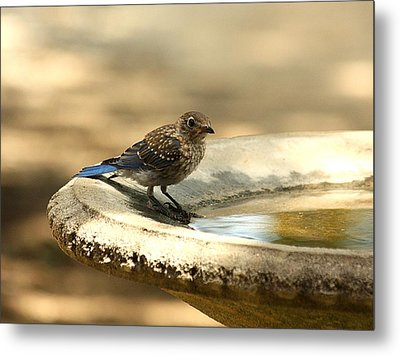 Metal Print featuring the photograph Bluebird Bath Time by Sheila Brown