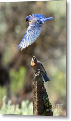 Bluebird Buzz Metal Print