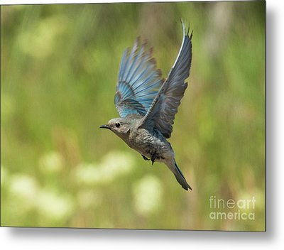 Bluebird Hover Metal Print by Mike Dawson
