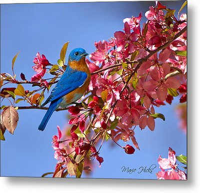 Bluebird In Apple Blossoms Metal Print by Marie Hicks