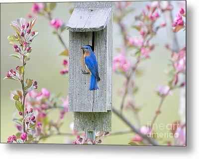 Bluebird Nesting Box Metal Print by Bonnie Barry