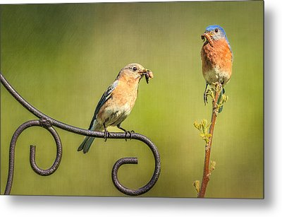 Bluebirds Gather Food For Chicks Metal Print by Susan Candelario