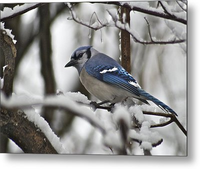 Bluejay 3648 Metal Print by Michael Peychich