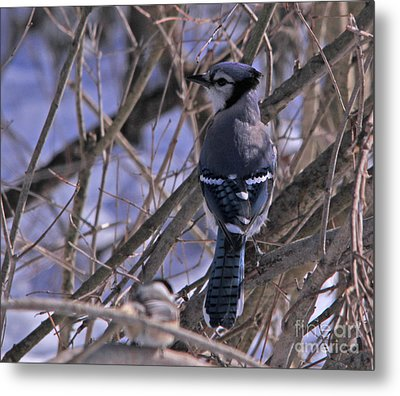 Bluejay In The Woods Metal Print by Cathy  Beharriell