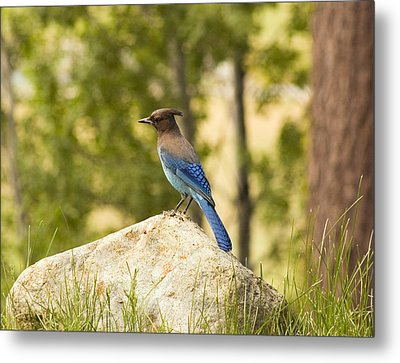 Bluejay Pondering Metal Print by Mick Burkey
