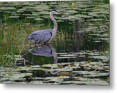 Blue's Image- Great Blue Heron Metal Print