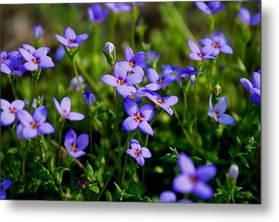 Metal Print featuring the photograph Bluets by Kathryn Meyer
