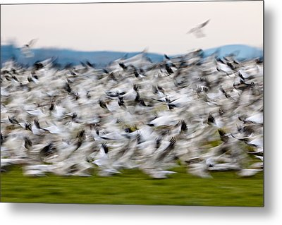 Blurry Birds In A Flurry L467 Metal Print by Yoshiki Nakamura