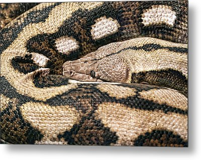 Boa Constrictor Metal Print by Tom Mc Nemar