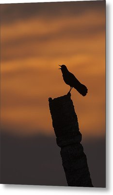 Boat-tailed Grackle At Sunset Metal Print